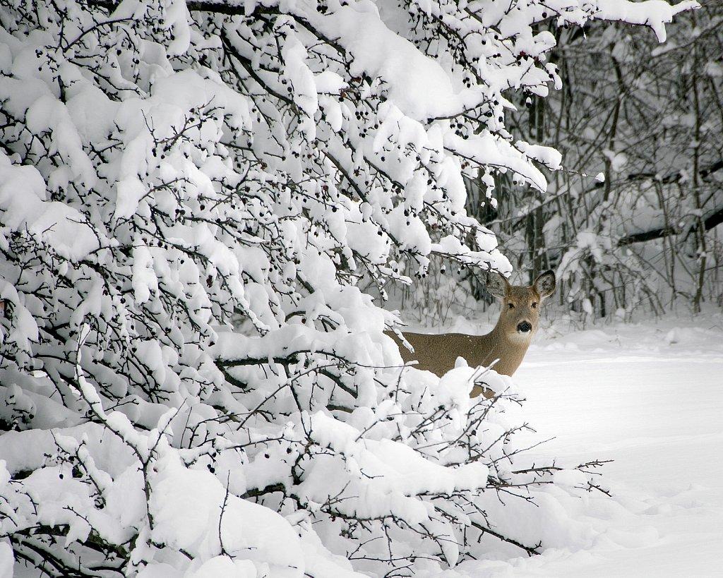 Peek-A-Deer