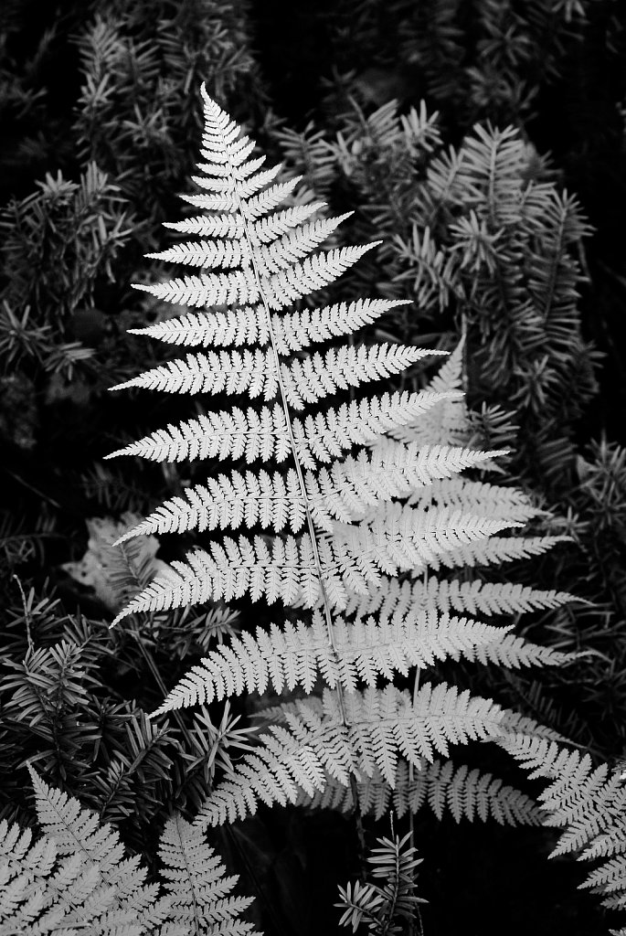 Fern, Upper Michigan