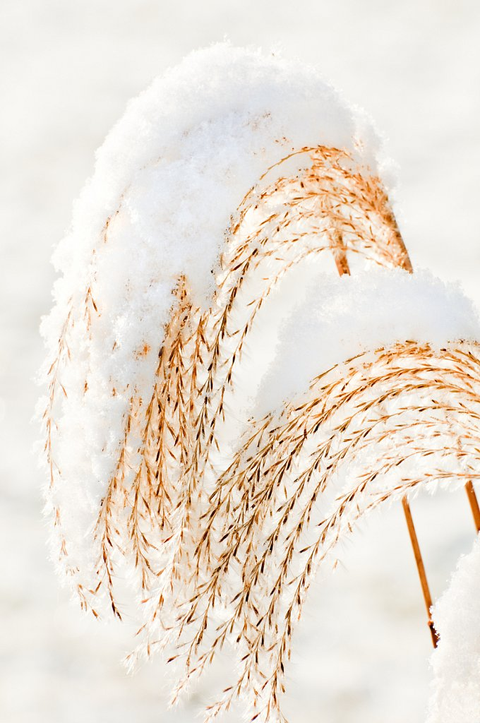 Ornamental Grass, Muskego, Wisconsin