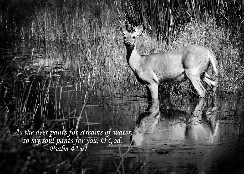 Deer in Stream